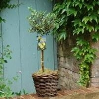 Kitchen Bay Tree or Olive Tree