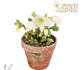 HELLEBORUS CHRISTMAS ROSE IN TERRACOTTA